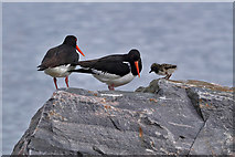 NH7055 : Oystercatchers at Avoch Harbour by Walter Baxter