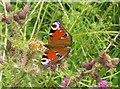 SD8361 : Peacock butterfly near Settle by John Illingworth