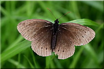 H5371 : Ringlet butterfly, Bancran by Kenneth  Allen