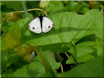 H5371 : Green veined white butterfly, Bracky by Kenneth  Allen