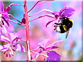 H4672 : White-tailed bumblebee, Mullaghmore by Kenneth  Allen