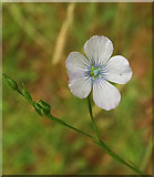 SX9066 : Pale flax, Nightingale Park by Derek Harper