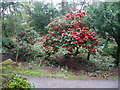 C0221 : Rhododendron in the gardens, Glenveagh Castle by Humphrey Bolton