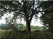 SO9818 : Tree by the A436, Pegglesworth by David Howard