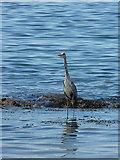 NO4102 : Grey heron fishing at Lower Largo by Richard Law