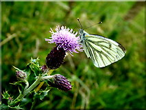 H5371 : Green-veined white butterfly, Bancran by Kenneth  Allen