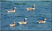 NS0372 : Geese near Rhubodach by Thomas Nugent