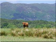NS0373 : Highland Cow near Rhubodach by Thomas Nugent
