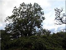 SO7504 : Woodlands by Roman Road, Cambridge by David Howard