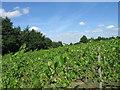 TL5648 : Vines, Chilford Hall Vineyard by Alex McGregor