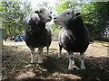 TQ9932 : Herdwick sheep  by Snargate Road : Week 33