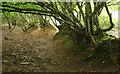 SX6953 : Trees on bank near Brownston by Derek Harper