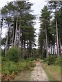 SY8891 : Path through Wareham Forest by Becky Williamson