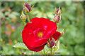 SJ2106 : Rose - Powis Castle Garden : Week 34