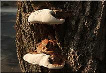 SX9065 : Fungi, Parkhurst Road, Torre by Derek Harper