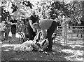 TG3106 : Sheep shearing demonstration by Evelyn Simak