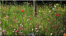 SX9050 : Wild flowers, Coleton Fishacre by Derek Harper