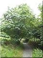 SS6139 : Footpath under sweet chestnut tree, Arlington Court by David Smith