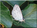 TQ0372 : Holly blue butterfly (Celastrina argiolus) near Moor Lane by Mike Quinn