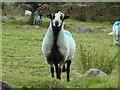 SX5280 : Sheep, Lower Creason by Vieve Forward