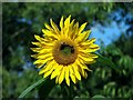 TG3719 : Toad Hole Cottage - sunflower : Week 37