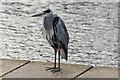 SD3240 : A heron at Kingcraig Lake : Week 37