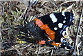 NJ1536 : Red Admiral Butterfly by Anne Burgess