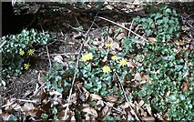 NZ3428 : Lesser Celandine in Hardwick Hall Country Park (1971) by Stanley Howe