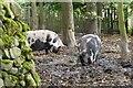 NT1169 : Pigs at Jupiter Artland by Jim Barton