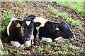 H5064 : Calves, Gortaclare by Kenneth  Allen