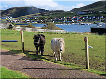 HU4039 : Shetland Ponies outside the Scalloway Museum by David Dixon