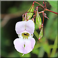 NJ2946 : Himalayan Balsam by Anne Burgess