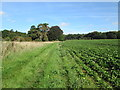 TL9097 : Root  crop  in  field  Merton  Park by Martin Dawes