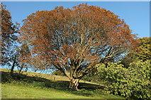 SX9050 : Horse chestnut, Coleton Fishacre by Derek Harper