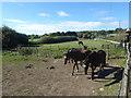 TQ1994 : Horses near Bury Farm seen from Edgwarebury Lane by Marathon