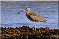 NU0053 : A curlew (Numenius arquata) at Fisherman's Haven by Walter Baxter