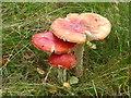 SK2479 : Fly agaric mushrooms in Bolehill Quarry by Graham Hogg