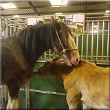 NT1473 : Clydesdales, Royal Highland Show by Richard Webb