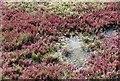 TG5108 : Samphire (Salicornia europaea) : Week 41