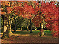SO8995 : Claret Ash tree in Muchall Park, Wolverhampton by Roger  Kidd