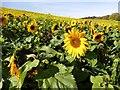 SE9333 : Field of Sunflowers in Drewton Dale : Week 41