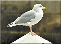 J3576 : Herring gull, Belfast harbour (October 2018) by Albert Bridge