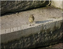 NW9954 : Rock Pipit (Anthus petrosus) in Portpatrick Harbour by James T M Towill