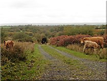 SS8521 : Cattle on Hares Down by Roger Cornfoot