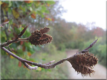 SP9314 : The Beech Nuts have gone by Chris Reynolds