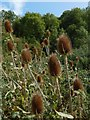 NS7894 : Teasels by Lairich Rig