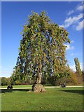 SK6464 : Weeping ash, Rufford Country Park by Jonathan Thacker