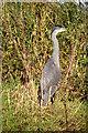 TL2169 : Grey heron by Tiger
