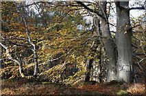 NH5966 : Beech beside the perimeter track of Evanton Wood by Julian Paren