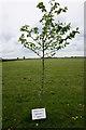 TF1081 : Memorial tree to Ronald T. P. Diamond by Ian S